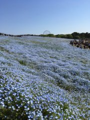 Nemophilas at Hitachi Seaside Park